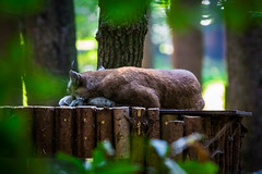 sweet dreams are made of this... (MyMUCPics) Tags: wildpark poing wildparkpoing tiere animals 2016 september zoo tierpark luchs lynx nature natur deutschland germany