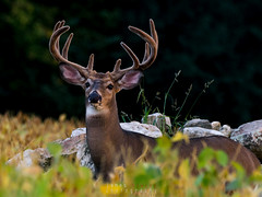 White-tailed Deer (jamesahawley) Tags: deer whitetailed buck stag mammal animal wildlife autumn beans soybean