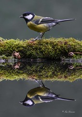 """Double Delight Reflections"" (maddiver58) Tags: reflection great tit pond hide double delight wildlife wareham"