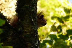Hiding (evisdotter) Tags: ekorre squirrel hiding tree nature sooc light closeup bokeh
