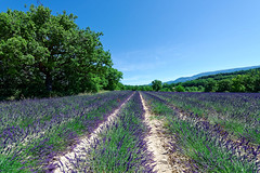 Valensole 14 (mpetr1960) Tags: valensole tree trees trip row rows grass france europe eu field outdoor sky ground green nikon nikond800 d800