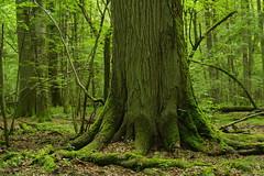 IMGP5354 (msklodowski) Tags: biaowiea primeval forest