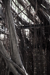 Tree supports (Peter J Brent) Tags: tainan taiwan anpingoldtaitandco treehouse banyantree