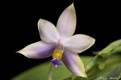"Phalaenopsis Violacea ""Malaysian Blue"" (Giorgio Armano) Tags: orchidea orchid orchids orchidee fiore focus flower fiori helicon nikon macro phalaenopsis violacea malaysian blue"