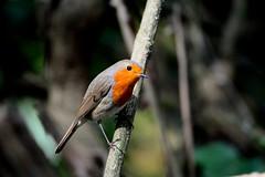 Rougegorge Familier   (Erithacus Rubecula) - European Robin (Bruno ArtPhoto) Tags: bird robin red rouge gorge tamron nikon nature
