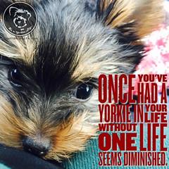 Yorkies forever! (itsayorkielife) Tags: yorkiememe yorkie yorkshireterrier quote