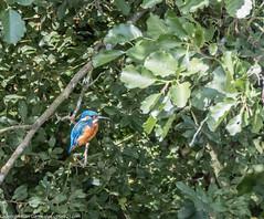 9Q6A6989 (2) (Alinbidford) Tags: alinbidford alancurtis brandonmarsh kingfisher greyheron heron kestrel