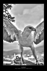 locked (Armitage77) Tags: locked angebunden eagle adler bw sw black white schwarz weiss hdr tonemapping karon phuket thailand canon eos 5dmarkii