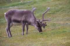 Svalbard Reindeer at Alkepynten IMG_9448 (grebberg) Tags: alkepynten alkhornet spitsbergen svalbard july 2016 rangifer rangifertarandusplatyrhynchus reindeer mammal svalbardreindeer rangifertarandus