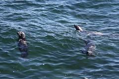 20160912_051_iloe_bonaventure_quelques_phoques_en_surface (lindy_scuba) Tags: bonaventure canada perce quebec sealions seal