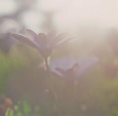 (after october) Tags: flowers light summer sunlight daisies mediumformat bokeh august hasselblad500cm