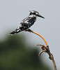 Pied Kingfisher (Wild Chroma) Tags: birds srilanka cerylerudis ceryle rudis nonpasserines muthurajawela