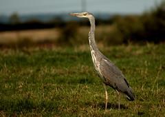 Grey Heron (Kel1y J) Tags: life heron nature canon canal swan wildlife side goose gosling crow signet canoneos400d