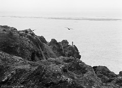 Seagull Fly By - Pentax 6x7 - Super-Multi-Coated Takumar 6x7 300mm F/4 - TMAX 400 (divewizard) Tags: ocean california sea blackandwhite bw cliff seagulls white seascape black slr 120 blancoynegro film blanco analog mediumformat point landscape flying blackwhite analgica noir pacific noiretblanc pentax t