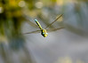 Migrant Hawker in flight (PABaileyYork Photos) Tags: york macro nature insect lumix flying inflight dragonfly panasonic g2 dunnington migranthawker hassacarrnaturereserve