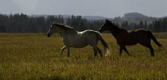 Beauty In The Tetons (Kristin_Joy) Tags: wild horses nature beauty animal running wyoming equine grandtetonnationalpark