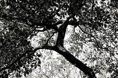 "Cantareira 2012 (Ricardo ""BATERA"" Sousa) Tags: natureza arvore pretoebranco trilha batera cantareira digitalcameraclub blackwhitephotos 60d abigfave flickrdiamond ricardosousaphotoshop"