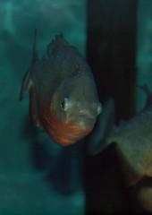 Piranha (Triker-Sticks) Tags: sea england fish nature aquarium coast marine wildlife sealife piranha carnivore hunstanton copyright2012pwinterfordallrightsreserved