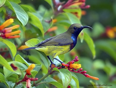 Olive-backed Sunbird Male  ( Nectarinia jugularis ) (gary1844) Tags: male sunbird nectarinia jugularis olivebacked