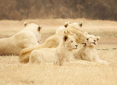White Lion Family (AnnuskA  - AnnA Theodora) Tags: life africa park family wild white cute nature cat big south lion adorable super pride mothers lions cubs lovely licking tender