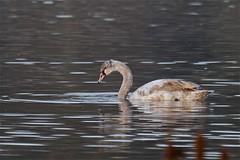 Hybrid Mute x Black Swan (Baractus) Tags: uk winter black west john swan first x hybrid mute oates midlands