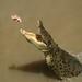 Olha o bocão do croc-croc...