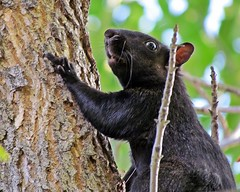 Black Squirrel Close-up (5of7) Tags: wild black detail tree nature animal rural mammal rodent squirrel wildlife small trunk fav inatree squirel 1fav challengewinner pregamewinner pregamesweepwinner gamesweepwinner pregamechallenges