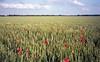 field (Jos Mecklenfeld) Tags: leica flowers film nature netherlands clouds 35mm landscape kodak wheat wolken groningen bloemen landschap papaver terapel ektar minilux westerwolde tarwe klaprozen kodakektar leicaminiluxzoom kodakektar100 epsonv500