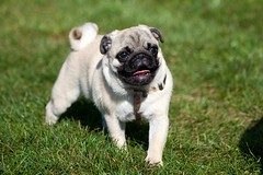 Penny @ training (TheOtherPerspective78) Tags: dog chien sun cute love smile grass sunshine training canon puppy happy meadow wiese pug sunny hund gras sonnig sonne mops carlino pugdog welpe puglet lieb ss ef100400l theotherperspective78