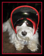 """9/12B ~ """"Guess Who"""" (ellenc995) Tags: friends riley westie westhighlandwhiteterrier coth supershot akob abigfave citrit pet100 100commentgroup coth5 naturallywonderful 12monthsfordogs12 thesunshinegroup sunrays5"""