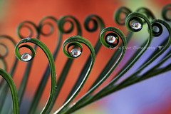 (Kathy Deur Photos) Tags: new red green curls waterdrops refractions sagopalm