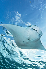 Manta ray in the sky (Luko Gecko) Tags: blue bali water indonesia flying underwater scuba diving manta nus lembongan penida alfredi