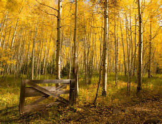 Dreamy Stroll Through The Aspen Forest