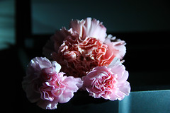 Carnation (Katy Meininger) Tags: pink flower green nature beautiful beauty petals stem pretty gorgeous dianthus carnation horticulture dianthuscaryophyllus horticulturescience