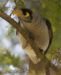 eye-to-eye (Fat Burns) Tags: bird australianwildlife australianbird noisyminor specanimal nativebirdstoaustralia