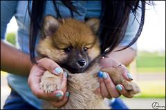 Pomeranian Bear/Puppy (A&A Photography Services) Tags: bear dog baby cute puppy outside nikon 28mm fluffy boo f2 pomeranian ais dogmodel boodog d3100