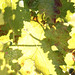 2012 Dilworth Cabernet Harvest 0021
