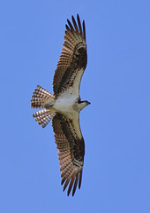 Osprey flyby (NatureFreak07) Tags: summer bird birds osprey birdofprey lemoinespoint kingstonon naturefreak07 hnainphotography