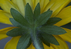 Summer of 2012 (NancyArmstrongThomson ~ back on board) Tags: autumn green fall yellow garden photo gardening daisy rudbekia gloriosadaisy nancyarmstrongt