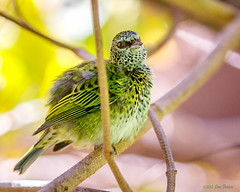 Fluffy Spotted Tanager (SARhounds) Tags: sandiegozoo captivebird tangarapunctata spottedtanager hummingbirdhouse blinkagain