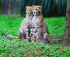 Cheetah Cubs (` Toshio ') Tags: baby green animal yellow cat mammal zoo cub washingtondc dc washington spots bigcat nationalzoo cheetah cheetahcubs babyanimals toshio