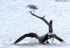 Great Blue Heron ; Snowy Egret ; Shad - Bayou Courtableau, Louisiana (Image Hunter 1) Tags: nature water birds droplets drops wings louisiana feeding feathers diving bayou swamp perch perched marsh ripples splash shad wingspan greatblueheron snowyegret wingspread canoneos7d birdslouisiana bayoucourtableau hennysanimals