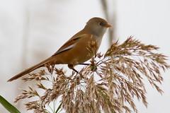 Panure à Moustaches (m-idre31 - 5 millions de vues merci) Tags: bird marais oiseau hérault roselières panureàmaoustache