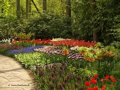 Dutch Tulips, Keukenhof Gardens, Holland - 0742 (HereIsTom) Tags: travel flowers flower holland nature netherlands dutch gardens garden spring europe colours tulips sony cybershot olympus tulip bloom keukenhof tulpen tulp webshots e500 f505