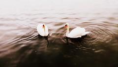Couple (PattyK.) Tags: ioannina giannena giannina lake pamvotida lakepamvoida ioanninalake water whereilive swans greece grece grecia griechenland hellas ilovephotography february 2016