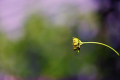 Bent Out of Shape (Mister Day) Tags: shape flower wilting wilted bent curve curves