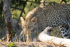 Simbambili leopard sighting (Dakinepics00) Tags: southafrica a6300 africa mirrorless safari sony sonya6300 wildlife