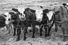 curiosite n&b DxOFP LM+351003050 (mich53 - Thanks for 3000000 Views!) Tags: animaux monochrome noirblanc bw tlmtre leicamtype240 summiluxm35mmf14asph portrait cotentin 2016 regards eyes vaches veaux cattle livestock rinder vieh bovins btail