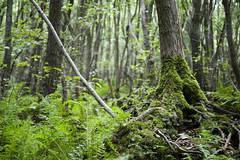 Bruchwald (derkleinebiber) Tags: wald urwald brandenburg forest foret woodland woodlands wood woods trees tree moss moos baum bume bruchwald weisersee wanderweg mrkische schweiz buckow sumpf swamp landscape naturelovers landschaft