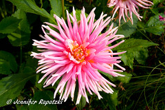Dahlie in Pink (Bernsteindrache7) Tags: summer spring sony alpha 100 landscape outdoor flora fauna flower bloom blossom blume park pink makro